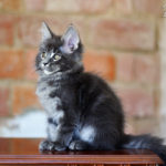 Maine Coon kittens Litter «I» — available for sale