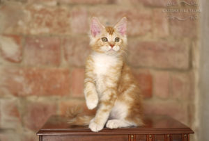 Maine-coon-kittens-litter-i-available-for-sale