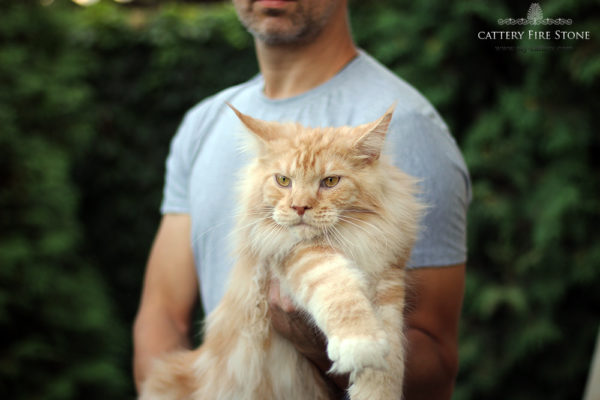kitten main coon for sale red male