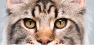 Caring for the ears and eyes Maine Coon
