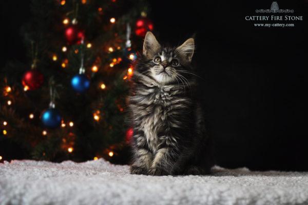 kitten main coon for sale female