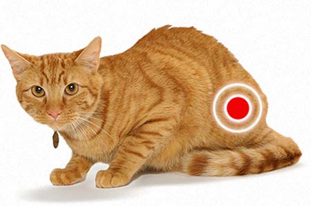 FLUTD (diseases of the lower urinary tract of cats)