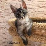 Amor Silver Oks (male)